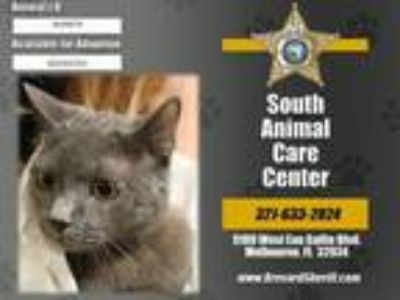 Adopt SMOKI a Domestic Short Hair