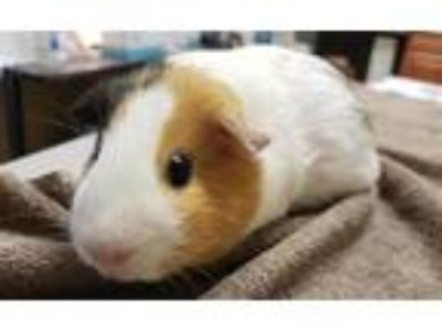 Adopt Valencia a Guinea Pig small animal in Oceanside, CA (25639058)