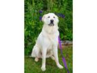 Adopt Shiloh a Great Pyrenees
