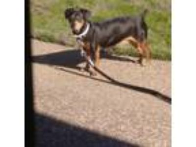 Adopt Pinky a Black - with Tan, Yellow or Fawn Dachshund / Doberman Pinscher /