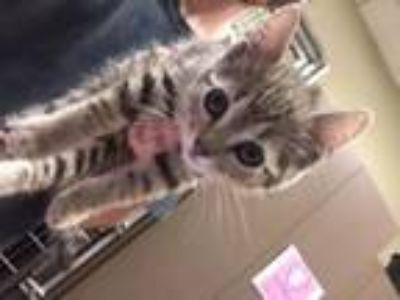Adopt Arnold a Domestic Short Hair