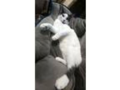 Adopt Bo - PETSEN$E and FREE Gift Bag a White (Mostly) American Shorthair /