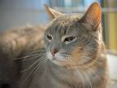 Adopt Teddy a Domestic Shorthair / Mixed cat in Portland, OR (25478689)