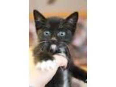 Adopt Lefty a All Black Domestic Shorthair / Domestic Shorthair / Mixed cat in