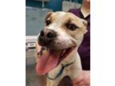 Adopt Icarus a Pit Bull Terrier, Cattle Dog