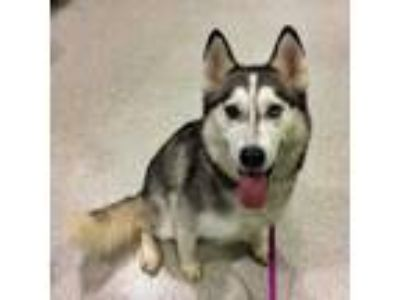 Adopt Eevee a Black Husky / Mixed dog in Vienna, OH (25265317)