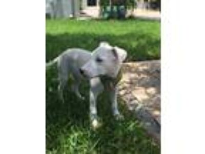 Adopt Hans Rico a White Labrador Retriever / Hound (Unknown Type) / Mixed dog in