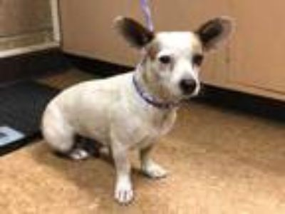 Adopt Meadow a White Corgi / Mixed dog in Madera, CA (25874915)
