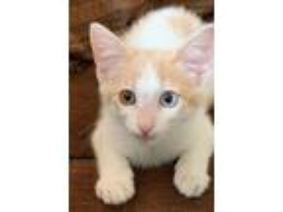 "Adopt Linus "" Kitten 2 colored eyes "" a Siamese, Domestic Short Hair"