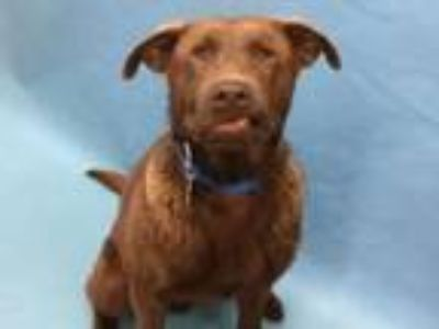 Adopt Wah a Labrador Retriever, Mixed Breed