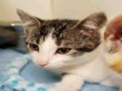 Adopt ROSY a Domestic Short Hair