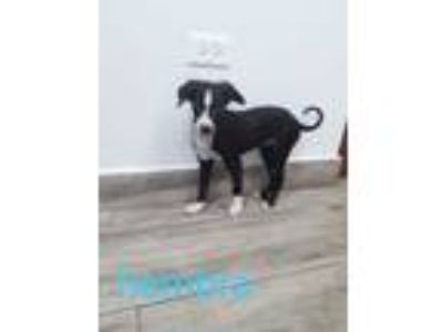 Adopt Quinn a Black - with White Mountain Cur / Collie / Mixed dog in Tampa