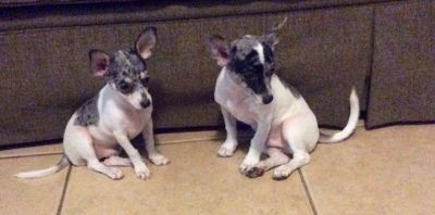 Chihuahua PUPPY FOR SALE ADN-96024 - Merle Chihuahua Puppies