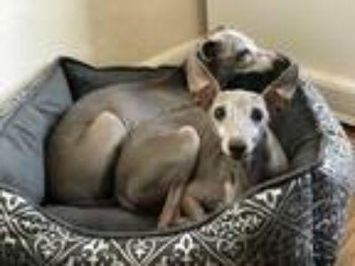 Adopt Wallace in Lawton OK a Tan/Yellow/Fawn Italian Greyhound / Mixed dog in