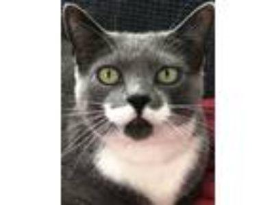 Adopt Mama Anna (FIV POS) a Domestic Shorthair cat in Hamburg, NY (23619886)