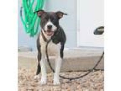 Adopt Gemma a Black American Staffordshire Terrier / Mixed dog in St.