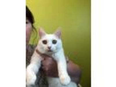 Adopt Blancho a White Domestic Shorthair / Domestic Shorthair / Mixed cat in
