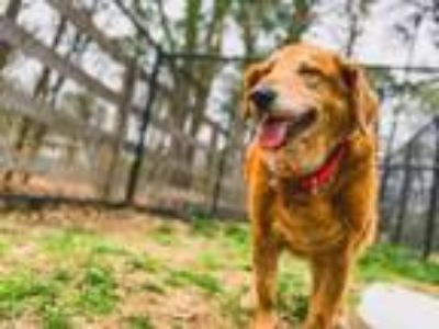 Adopt Lily a Golden Retriever