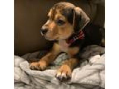 Adopt Clementine a Black - with Tan, Yellow or Fawn Labrador Retriever dog in