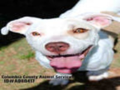 Adopt a White - with Brown or Chocolate Labrador Retriever / Mixed dog in