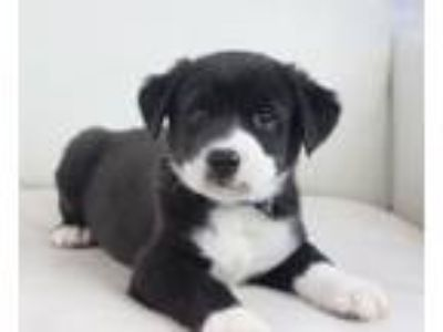 Adopt The Rock a Pit Bull Terrier