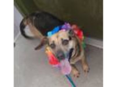 Adopt Daisy a Beagle / Mixed dog in Madison, NJ (25651636)
