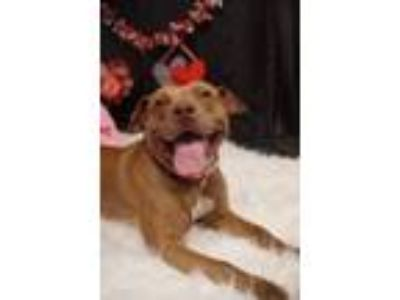 Adopt Jenna a Pit Bull Terrier