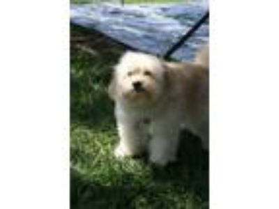 Adopt Chester a Pomeranian, Poodle