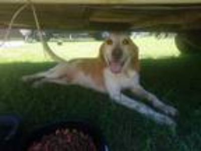 Adopt Mojo a White - with Red, Golden, Orange or Chestnut Hound (Unknown Type) /