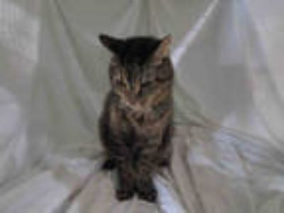 Adopt SMOKEY a Brown Tabby Domestic Longhair / Mixed (long coat) cat in Winter