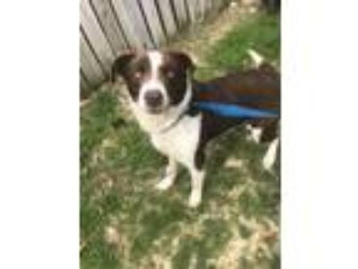 Adopt Tucker a Border Collie