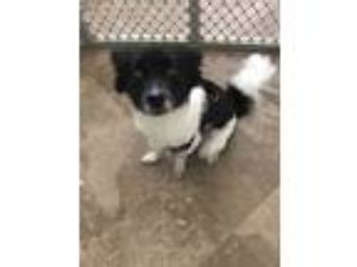 Adopt Princess a Black - with White Schipperke / Mixed dog in Pt orange
