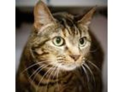 Adopt Chloe a Domestic Shorthair / Mixed cat in Silverdale, WA (24303435)