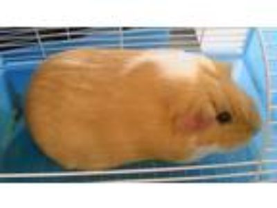 Adopt Groot a Tan or Beige Guinea Pig small animal in Oakland, CA (25144832)