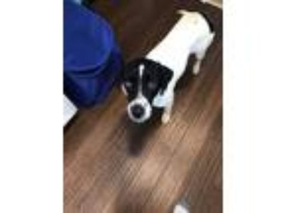 Adopt Brandy a English Pointer / Border Collie dog in East Greenville