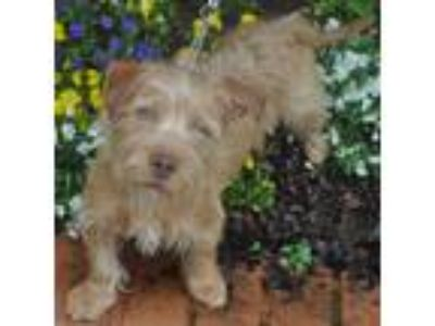Adopt April a Red/Golden/Orange/Chestnut Terrier (Unknown Type