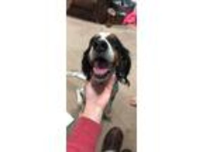 Adopt Harley a White - with Brown or Chocolate English Setter dog in Lenexa