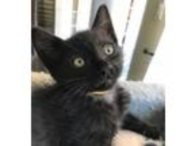 Adopt Chase K a All Black Domestic Shorthair / Mixed (short coat) cat in San