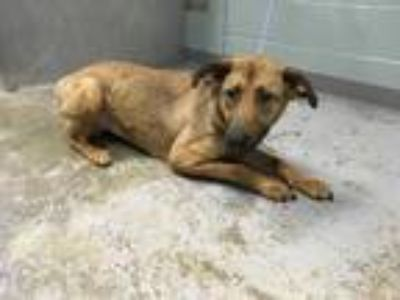 Adopt 41678591 a Black Shepherd (Unknown Type) / Mixed dog in Greenville