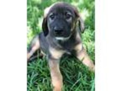 Adopt Dez a Tan/Yellow/Fawn - with Black Shepherd (Unknown Type) / Husky / Mixed