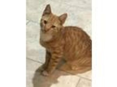 Adopt Cedric a Orange or Red Domestic Shorthair / Mixed (short coat) cat in