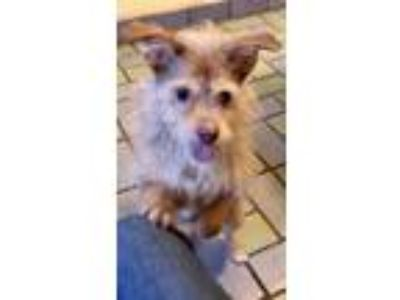 Adopt Fortuno a Yorkshire Terrier, Terrier