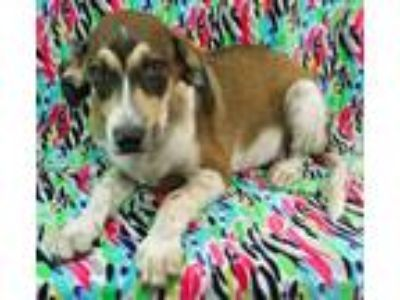 Adopt Bandit a German Shepherd Dog, Hound