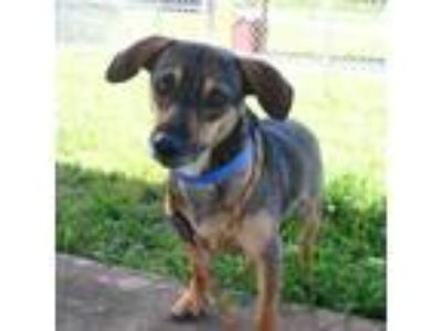 Adopt Ollie a Tan/Yellow/Fawn Dachshund / Terrier (Unknown Type