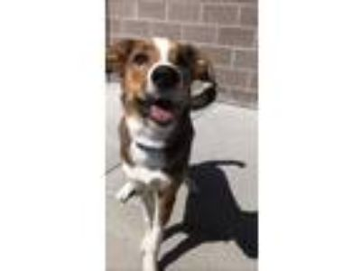 Adopt Ranger a Red/Golden/Orange/Chestnut Australian Shepherd / English Shepherd