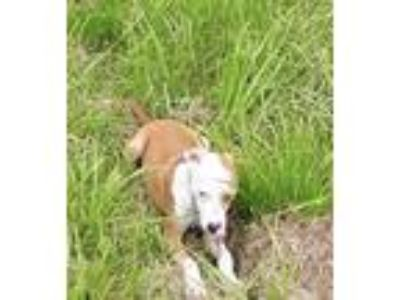 Adopt Ralph a Tan/Yellow/Fawn - with White Collie / Jack Russell Terrier / Mixed
