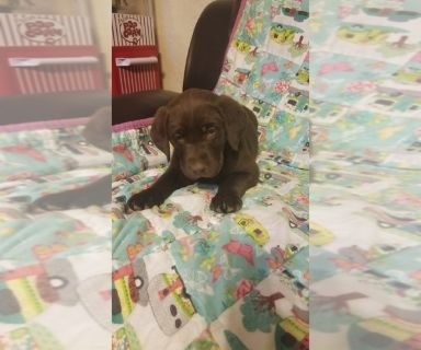 Labrador Retriever PUPPY FOR SALE ADN-127488 - Purebred Chocolate Labs