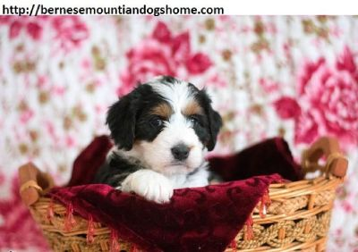 ♥♥♥Quality Bernese mountian dog Puppies:♥♥♥contact us at (804) 457-8438)