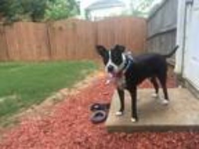 Adopt Jax a Black - with White Labrador Retriever / Bull Terrier dog in