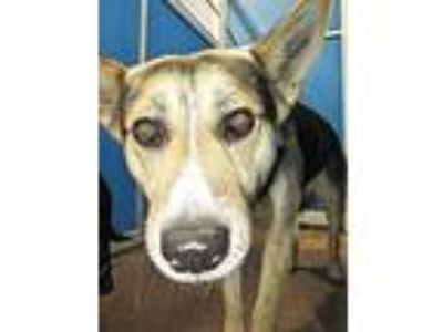 Adopt Cage 31 May 16 g a German Shepherd Dog, Australian Shepherd